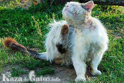10 enfermedades en los gatos más comunes.