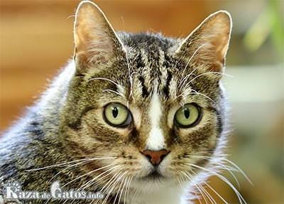 Foto de la cara del gato europeo.