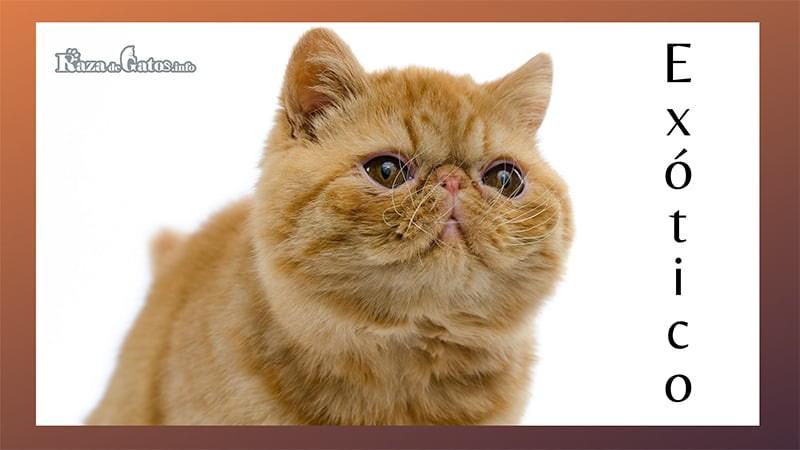Foto del gato Exótico (el Garfield de la vida real).