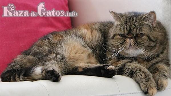 Foto de la Raza de gato Exótico – Gatos más cariñosos del mundo.