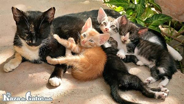 Foto de una gata, amamantando a sus crías. Gatos tricolor.