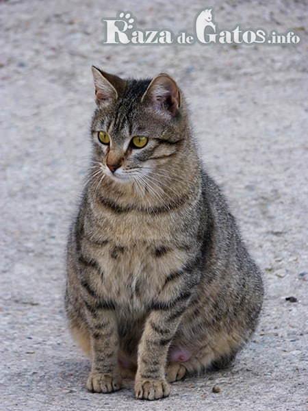 Imágen de Gata preñada (embarazada). Celo, gestacón y parto de una gata