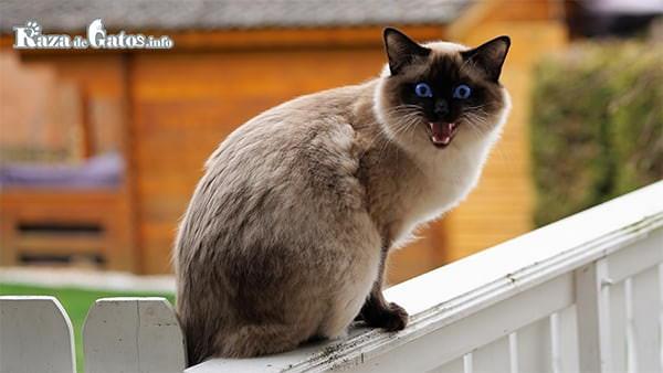 Una gata en celo maullando. Foto para la entrada de castración o esterilización de los gatos.