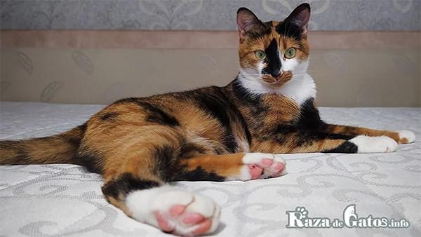Foto de una gata tricolor. Imagen para los Gatos tricolor.