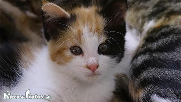 Gatito de tres colores. Fotografía de un gatito bebé tricolor.