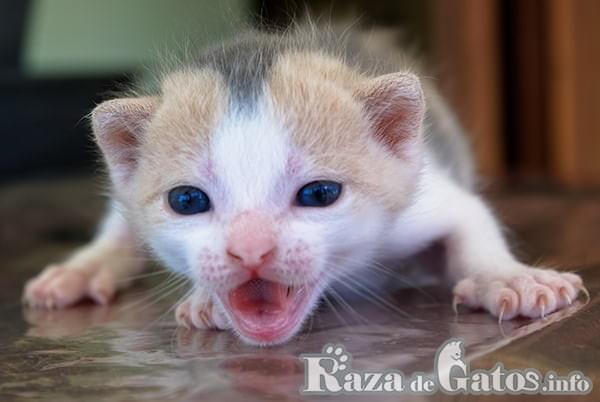 Gatito bebe intentando erguirse. Imagen para los cuidados de un gatito bebé.