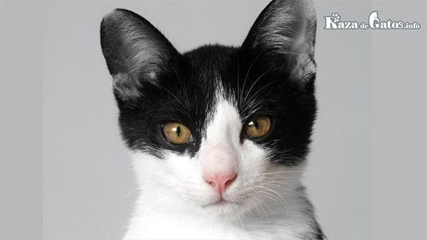 Foto de un gato blanco y negro.