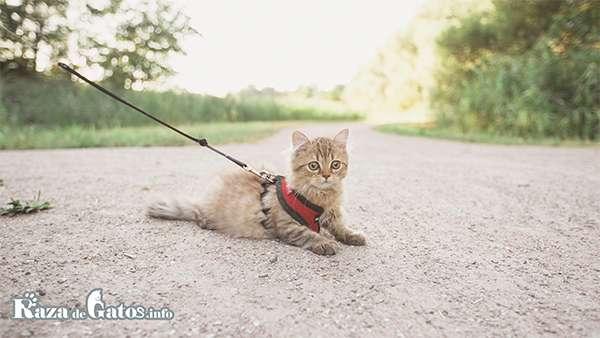 Fotografia de un gatito paseando con un arnés. ¿Se puede sacar a pasear a un gato?