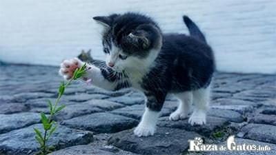 Foto de un gatito jugando con una flor. Las patas de los gatos ¿que caracteristicas tienen?