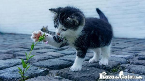 Foto de un gatito jugando con una flor. Imagen para las patas de los gatos ¿que caracteristicas tienen?