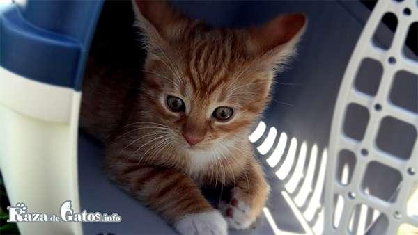 Gato en transportadora Canil.
