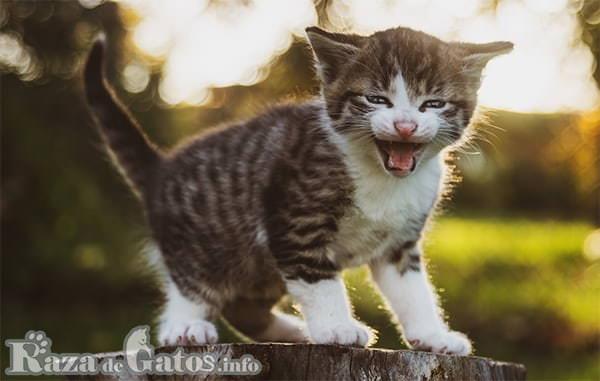 Imagen de Gatito bebé maullando. Fotito para : Cómo se comunican los gatos.