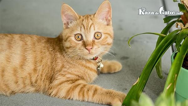 Gato con una marca de M en la frente.  Curiosidades sobre los gatos naranjas.