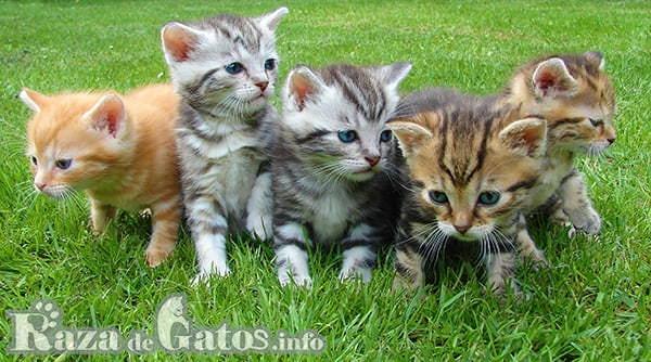 Gatitos bebés (cachorros de gatos)  Jugando. Imagen para, celo y gestación de una gata.