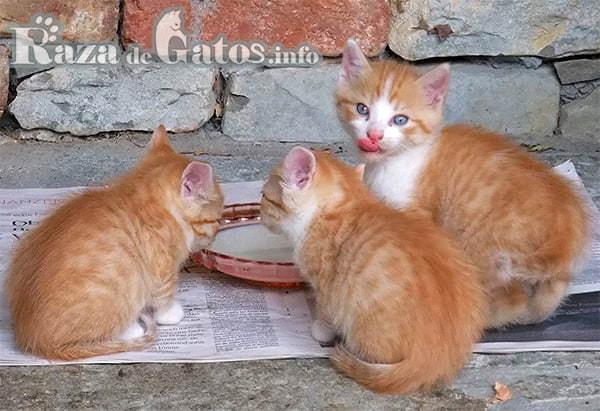 """Gatitos bebes tomando leche. Foto para """"cuidados de un gatito bebé"""""""