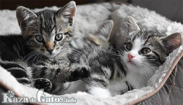 Pequeños gatitos mestizos. Fotografía de dos gatitos mestizos.