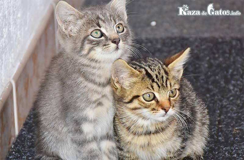 Foto de dos gatitos bebes mestizos o comunes.