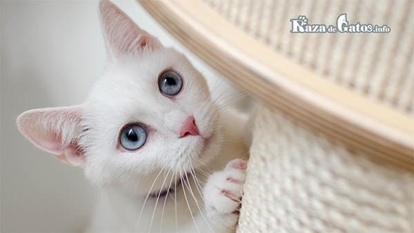 gatito albino - Gatos Albinos