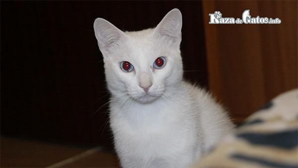 Los gatos albinos - características y cuidados