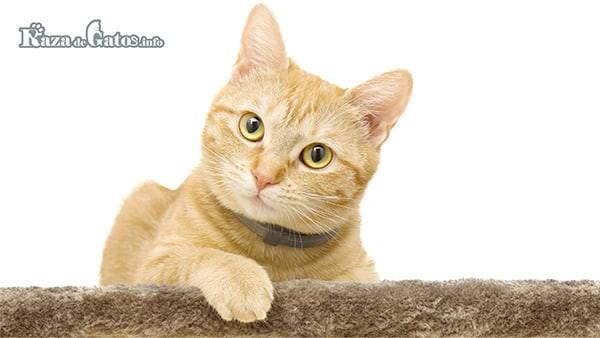 Gato con el Gen Tabby (atigrado)