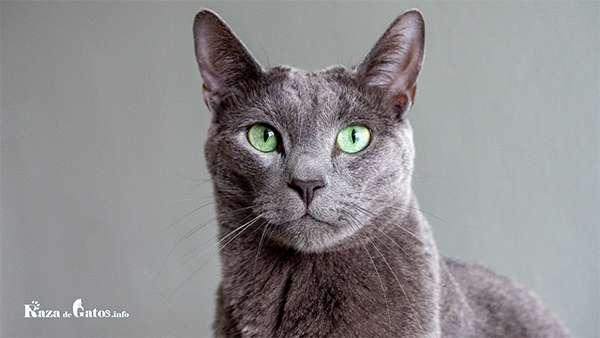 Foto del gato Korat