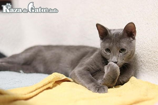 Foto del Azul Ruso.  Los 7 gatos más cariñosos del mundo.