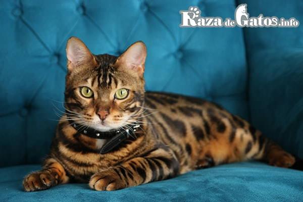 Foto de la Raza de gato Bengalí o Bengala. En los gatos más grandes del planeta.