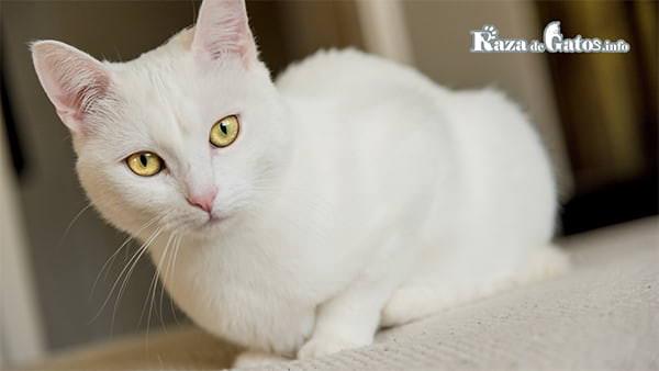 Gatito blanco. ¿Por qué los gatos blancos son sordos?