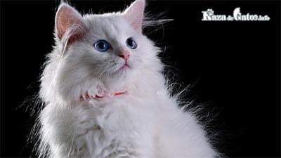 ¿Los gatos blancos son sordos? - gatos blancos