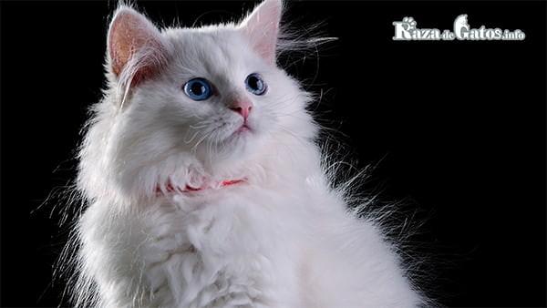 ¿Los gatos blancos son sordos? – gatos blancos