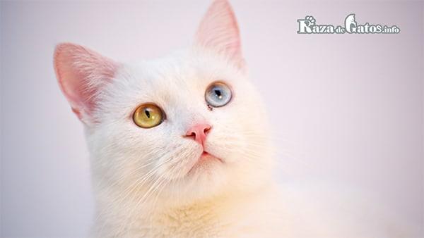 Gato Khao Manee blanco con ojos dispares.