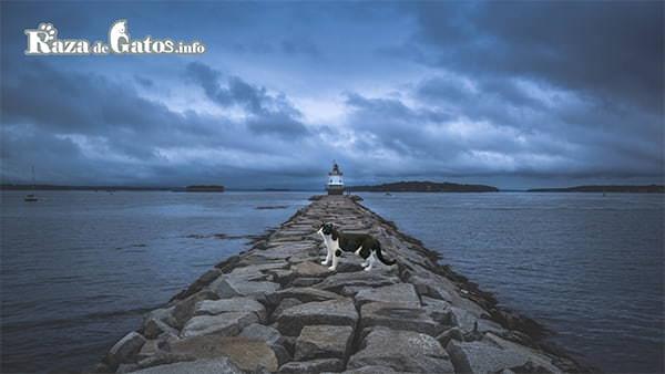 La leyenda del gato blanco y negro en busca de su dueño.