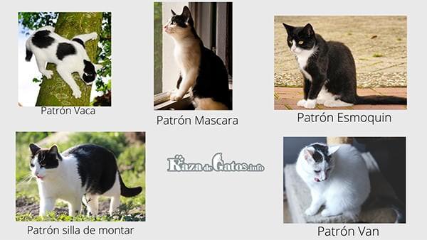 Tipos de patrones bicolor en gatos blanco y negro.