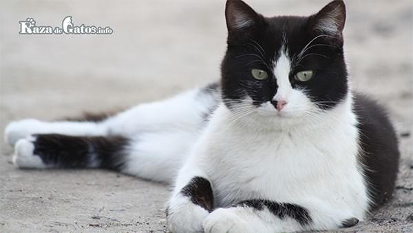 Gatos blanco y negro (Bicolor) Curiosidades