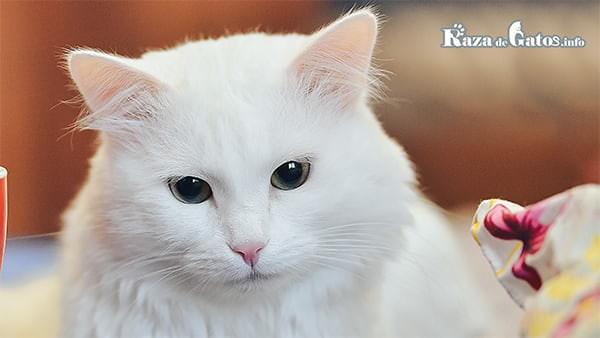 ¿Los gatos blancos son sordos? – ¿Cómo saber si mi gato la padece?
