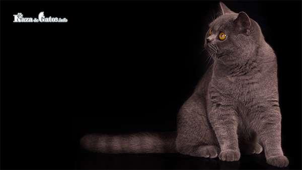 Foto del Gato Británico