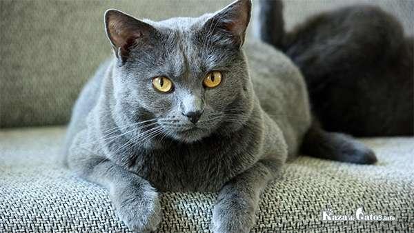 Foto del Gato Chartreux - Cartujo