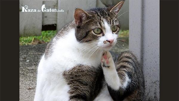 Foto de gato rascandose. Tipos de parásitos en los gatos: Internos y externos