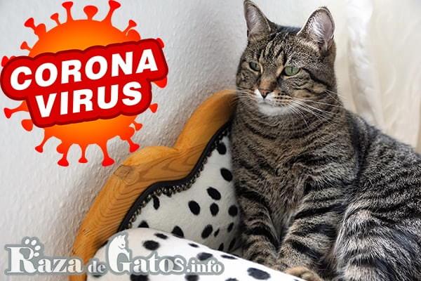 Gato sentado decaido por coronavirus (covid19) - razadegatos.info