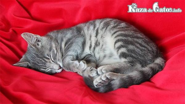 Foto de gato durmiendo. ¿Cuantas horas duermen los gatos?