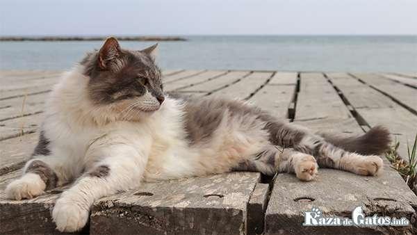 Gato en el muelle. ¿Los gatos pueden nadar?
