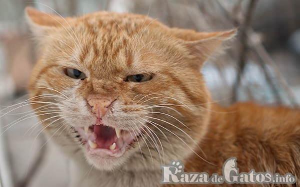 Ilustración de un Gato enojado. Gruniendo. ¿cómo se comunican los gatos?