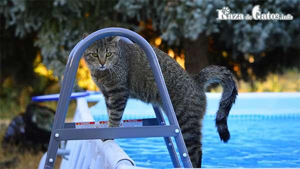 Gato en la piscina.  ¿Los gatos pueden nadar?