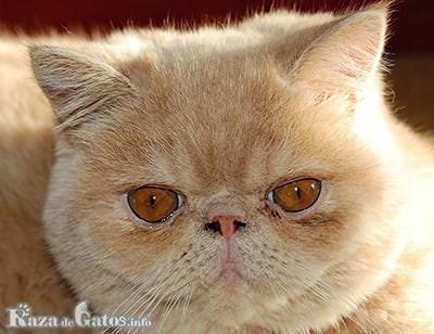 Foto de la cara del Gato Exótico, el Garfield de la vida real.