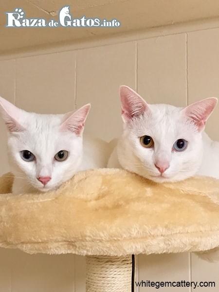 Foto del gato Khao Manee. Gatos raros y exoticos.