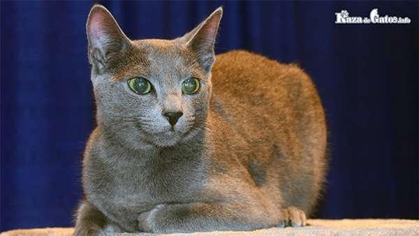 Foto del gato Azul Ruso.