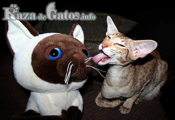 Gato lamiendo gatito de peluche. Juguetes para gatos.