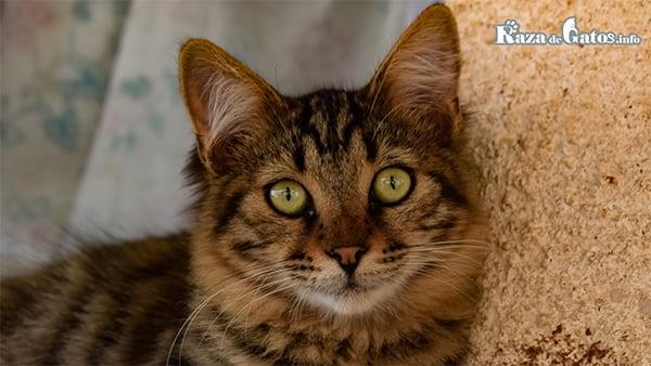 Leyendas sobre el origen de la letra M en la frente de los gatos atigrados