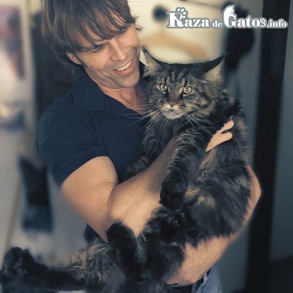 Foto de la Raza de gato Maine Coon en los brazos de una persona. El gato más grande del mundo. Gatos más grandes del mundo