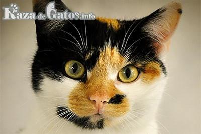 Foto de gato mestizo tricolor.